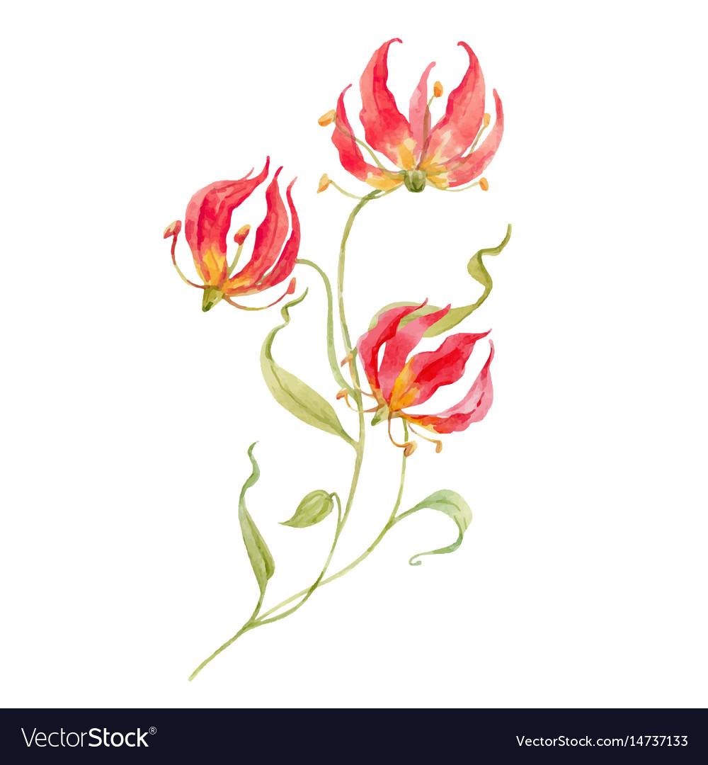 Watercolor gloriosa rothschild...