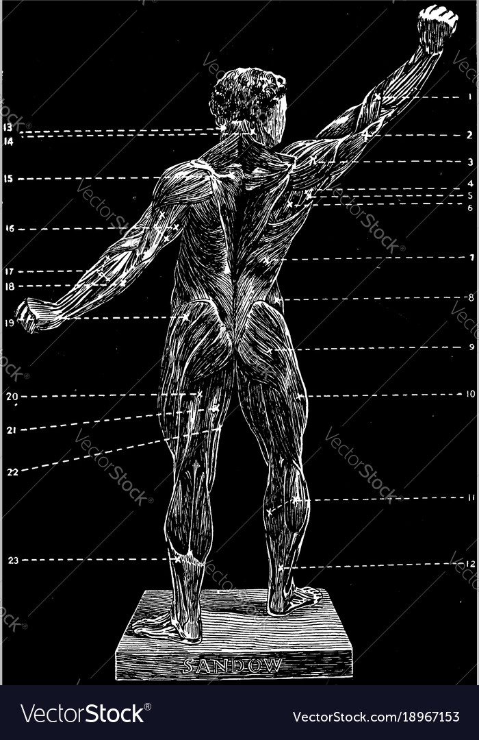 The Human Body Back View Vintage Royalty Free Vector Image