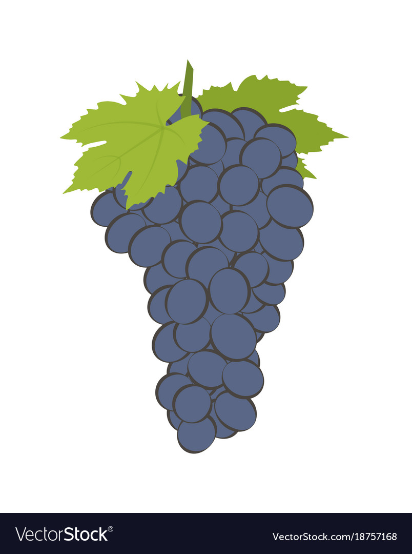 Bunch of wine grapes on white