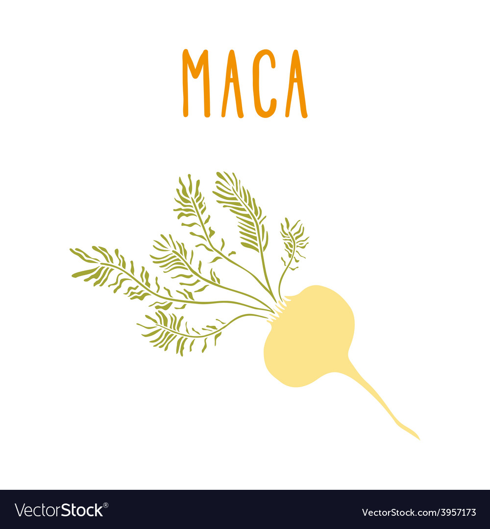 Maca root vector image