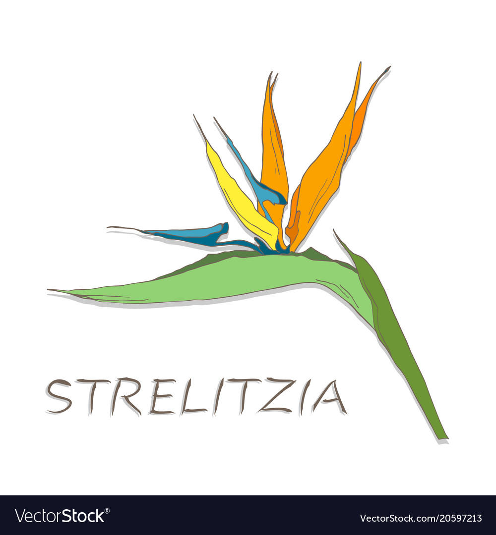 Strelitzia Flowers On White Background Royalty Free Vector