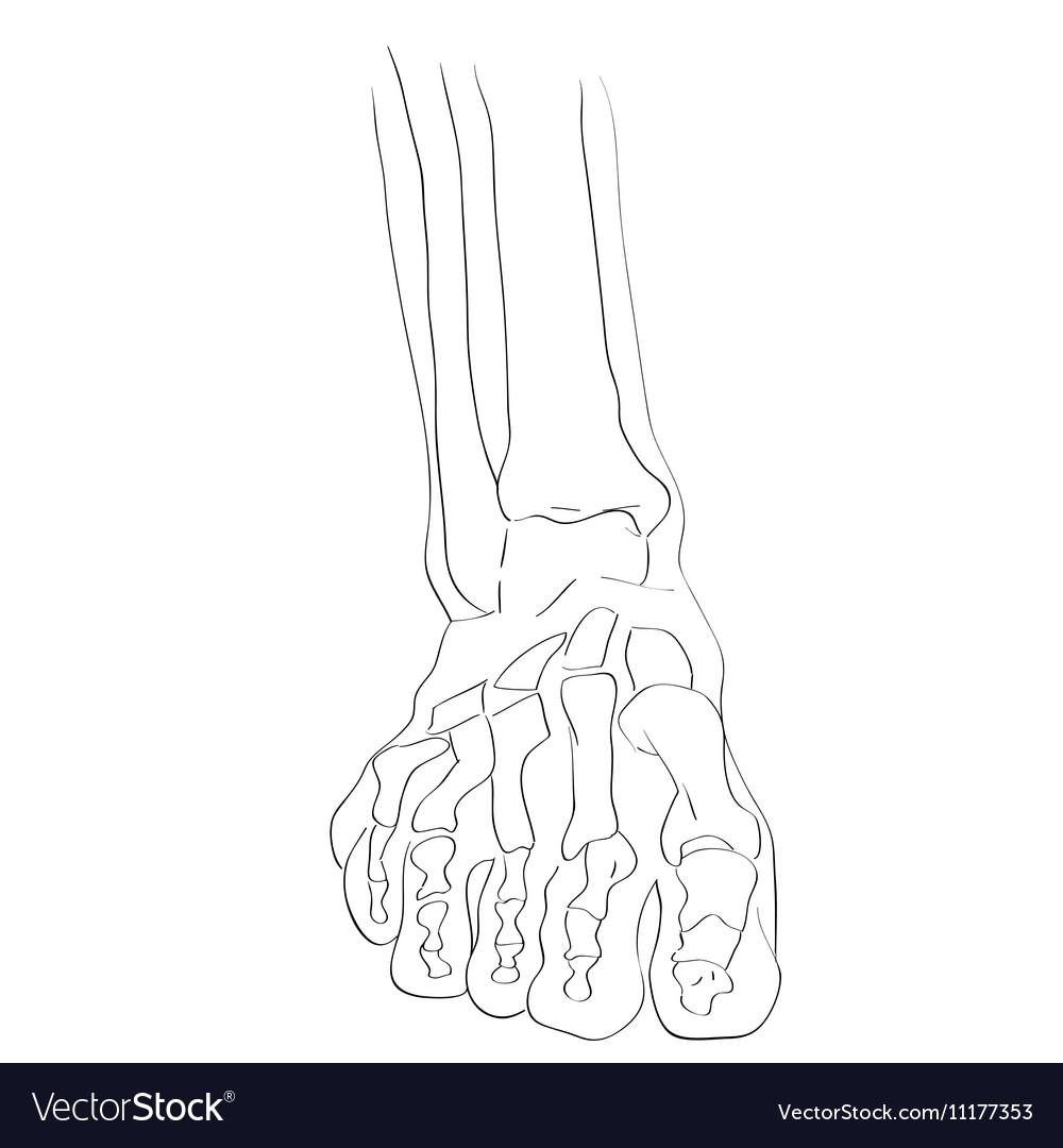 Front View Foot Bones Royalty Free Vector Image