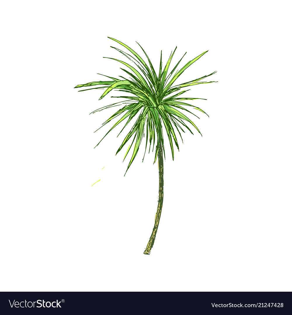 Coconut palm or queen palmae with leaves