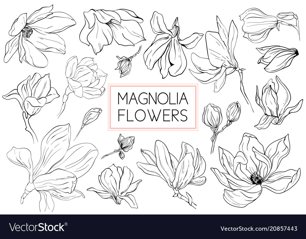 Magnolia Flowers Drawing And Sketch With Line Art Vector Image
