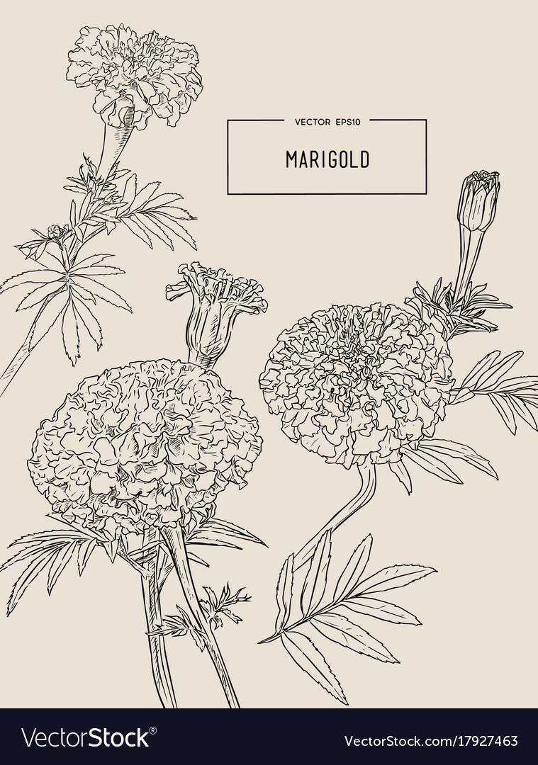 Orange marigolds hand draw sketch