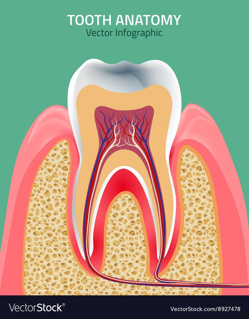 Teeth anatomy Royalty Free Vector Image - VectorStock
