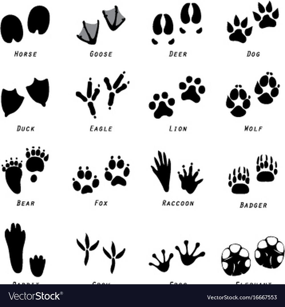 Animal spoor footprints icon vector image