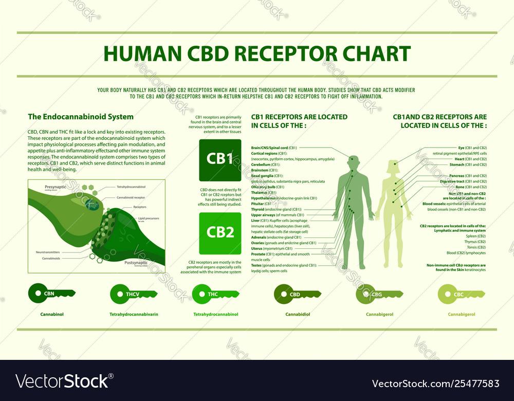 Human cbd receptor chart horizontal infographic