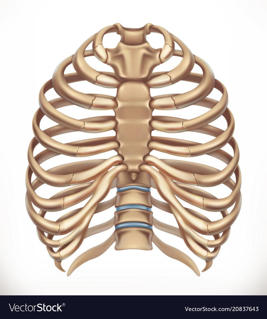 Rib Cage Human Skeleton Medicine 3d Icon Vector Image