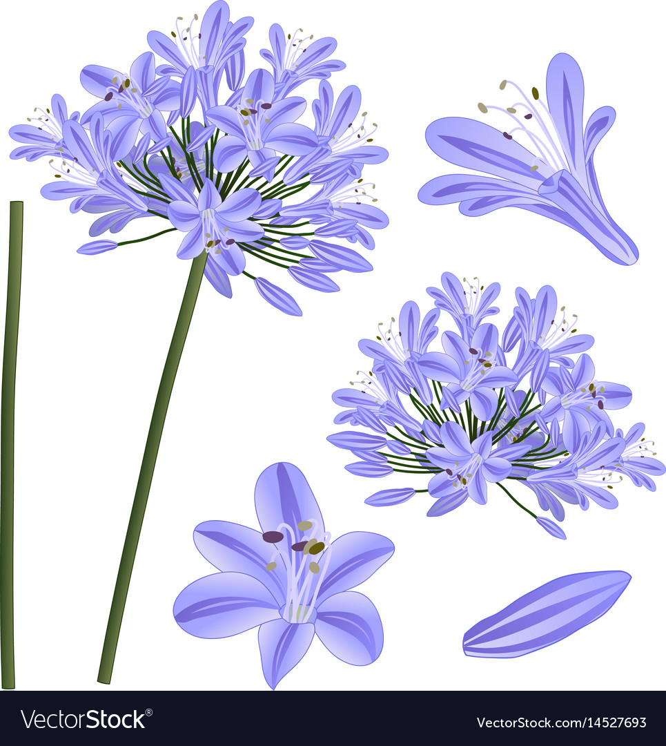 Blue purple agapanthus lily of the nile african vector image izmirmasajfo