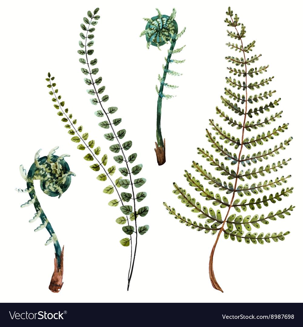 Watercolor fern leaves vector image