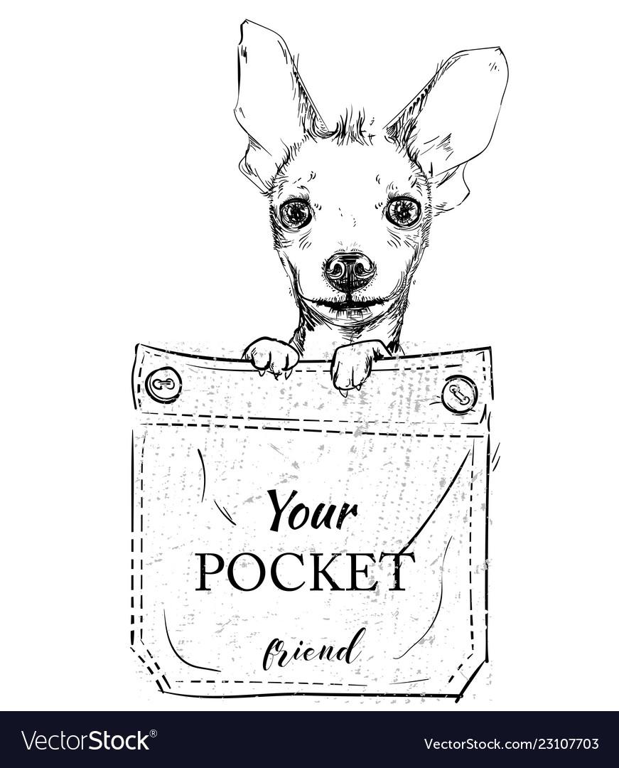 Little dog in pocket