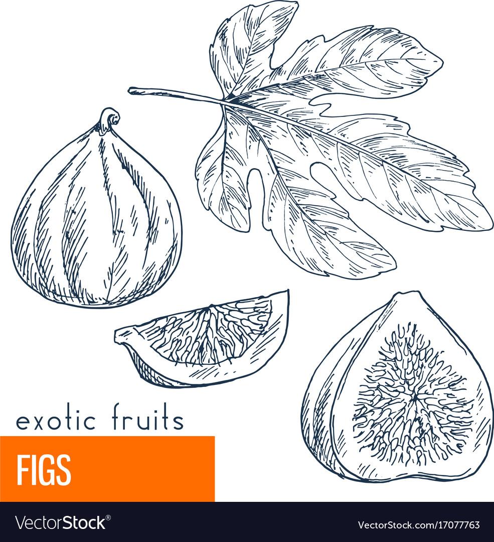 Figs hand drawn
