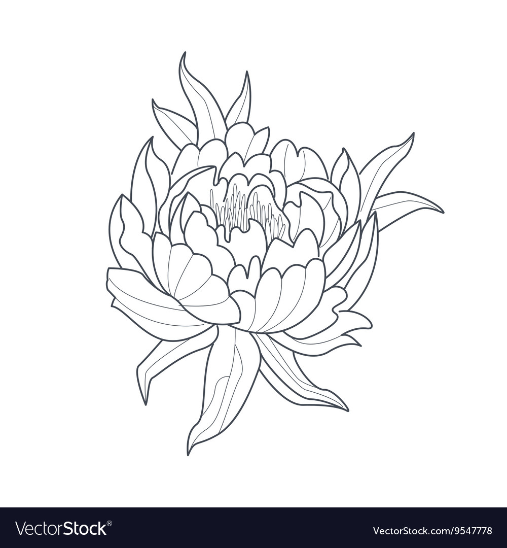 - Peony Flower Monochrome Drawing For Coloring Book Vector Image