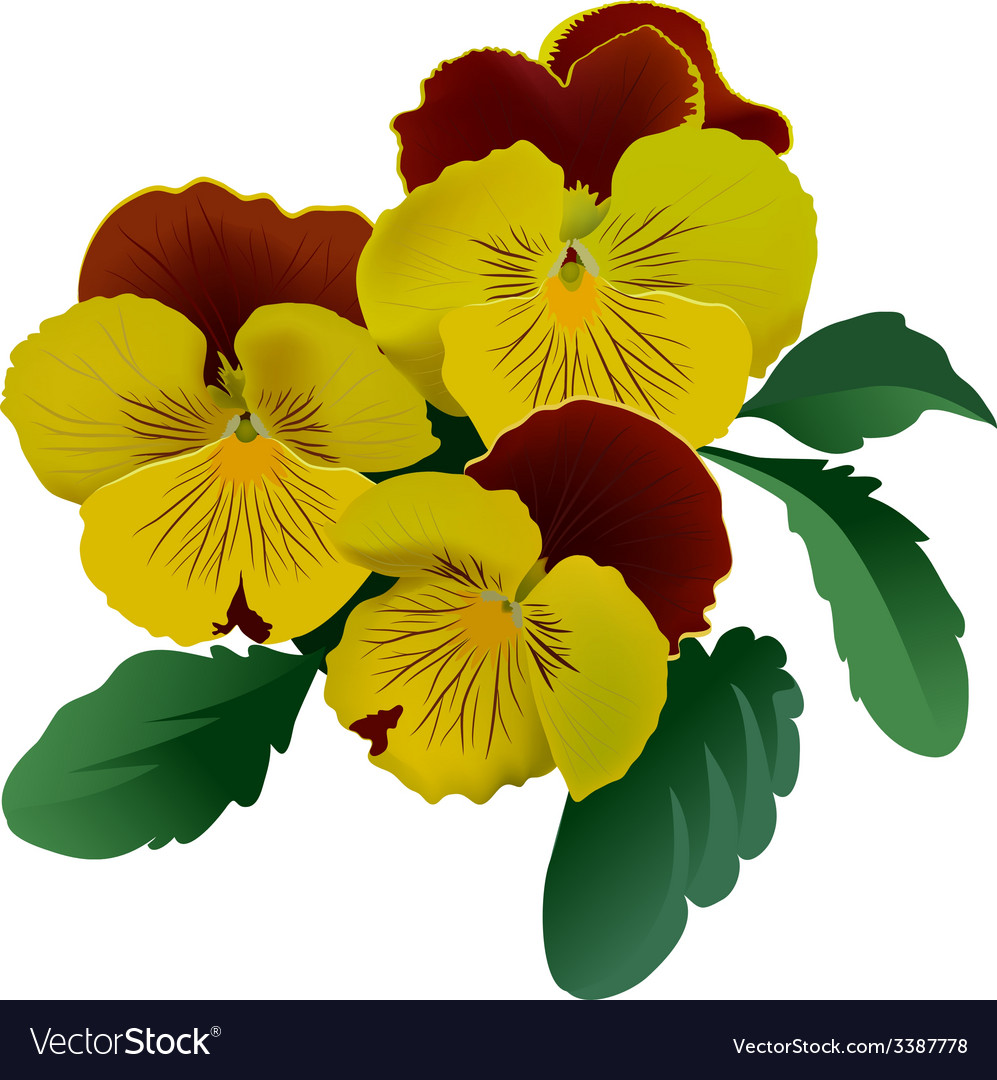Three Yellow Pansy Flowers With Leaves Royalty Free Vector