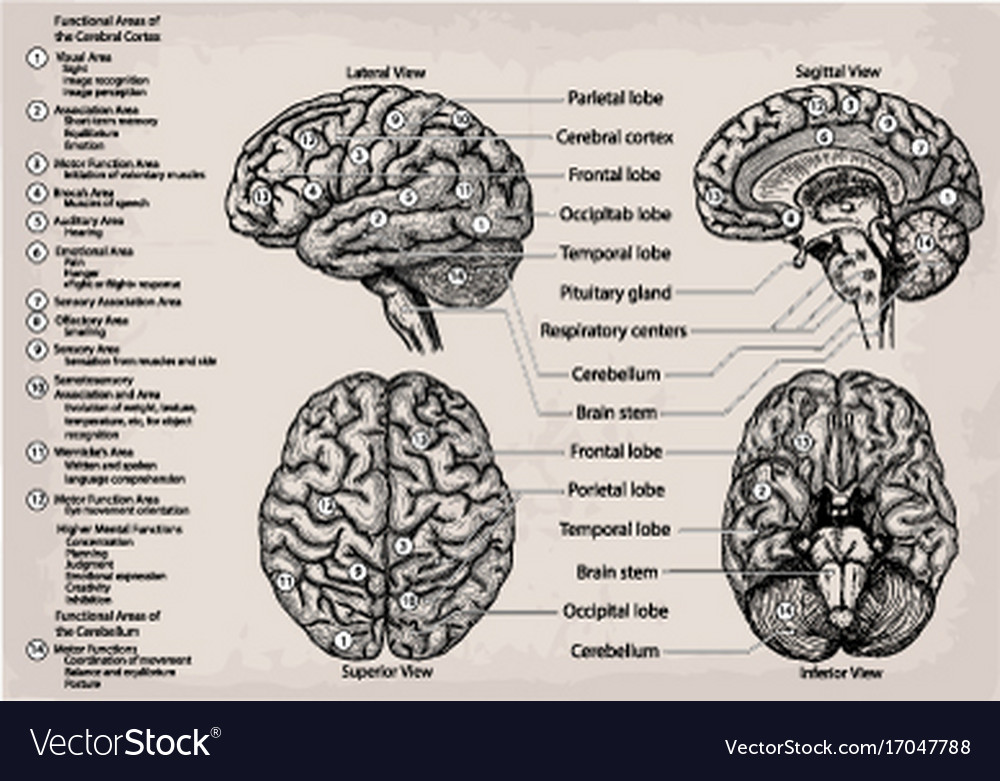 Anatomical Diagram Of Human Brain Medicine Vector Image