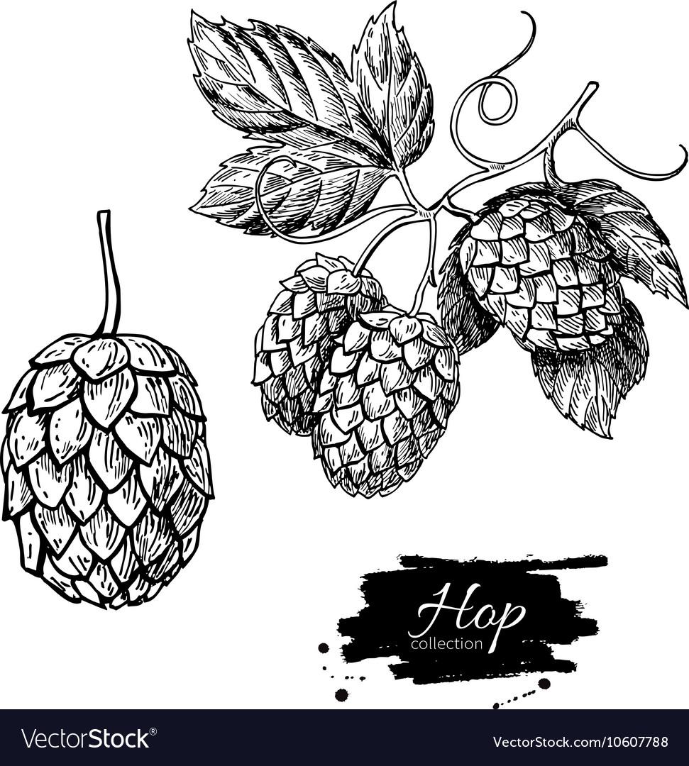 Hop plant drawing Hand drawn