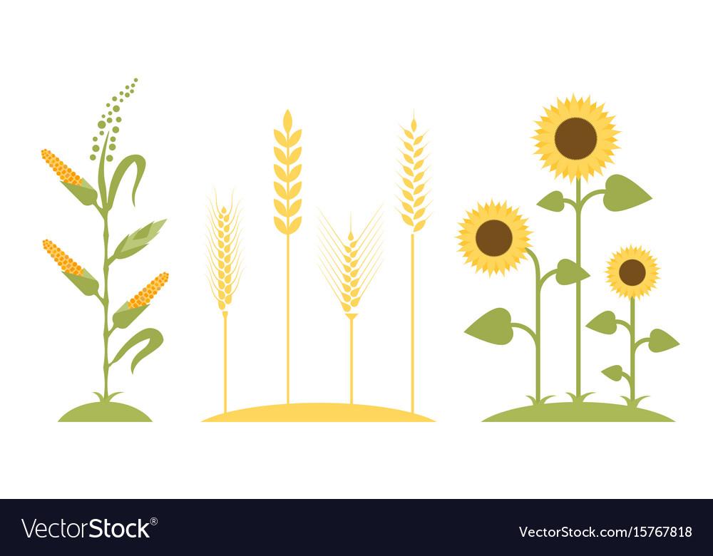Wheat field sunflower icon cartoon