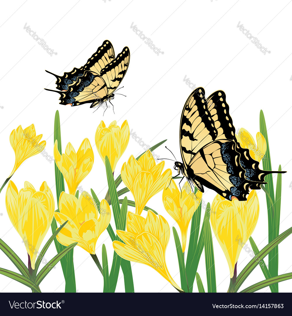 Yellow Crocus Flowers Royalty Free Vector Image