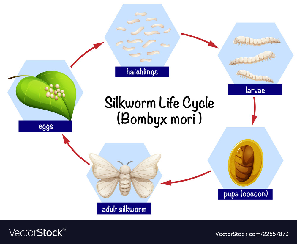 Science silkworm life cycle