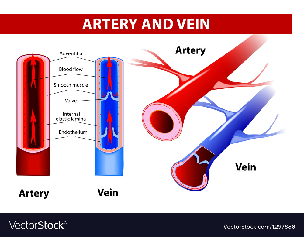Artery And Vein Royalty Free Vector Image Vectorstock