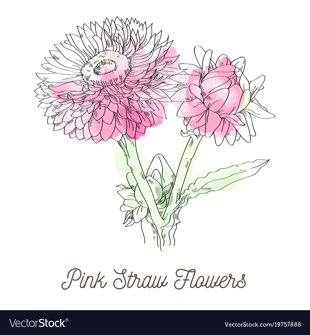 Pink Straw Flowers On White Background Royalty Free Vector