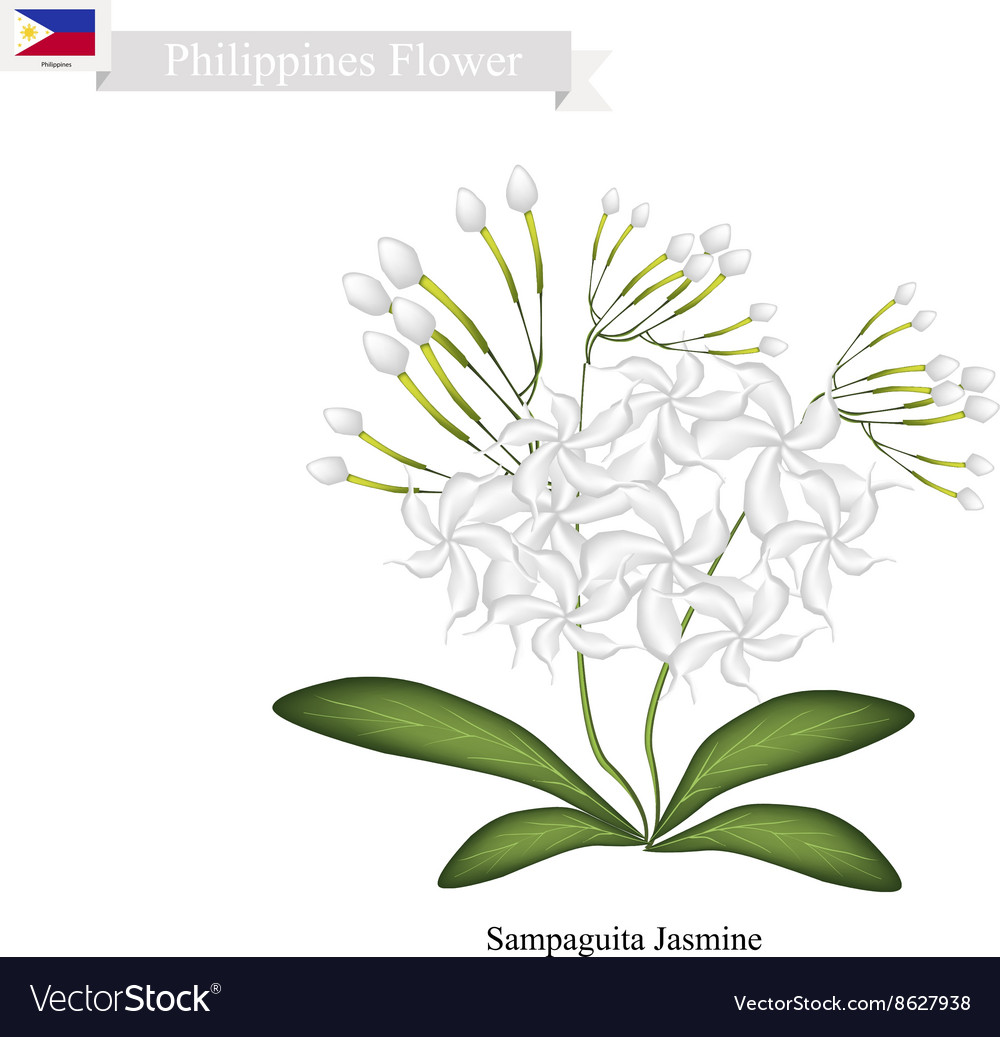Sampaguita Jasmine National Flower of Philippines vector image
