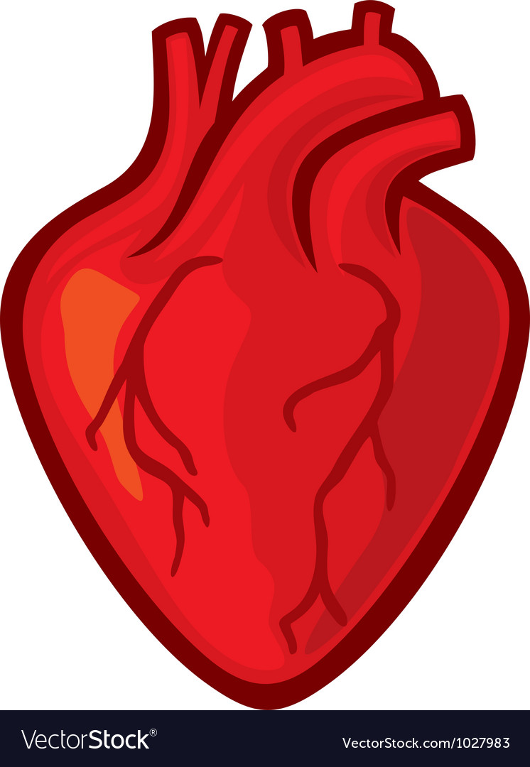 human heart royalty free vector image vectorstock rh vectorstock com human heart vector illustration human heart vector drawing