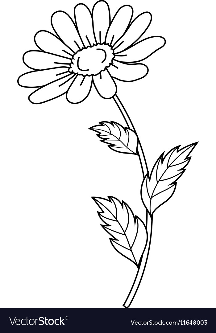 Beautiful daisiy isolated on a white background