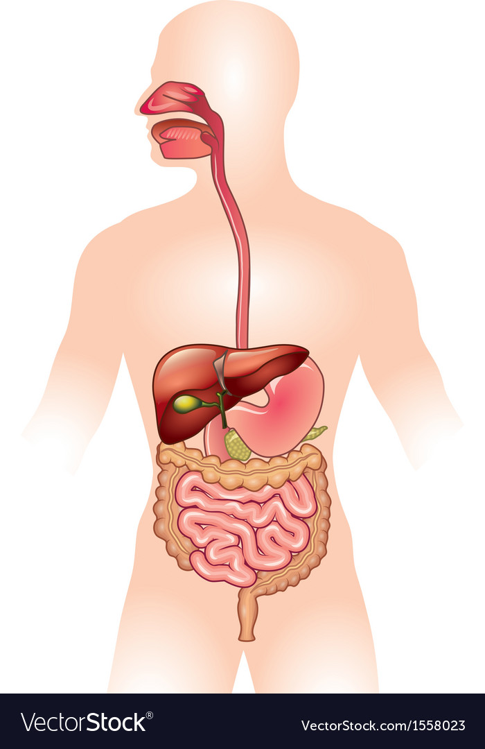 Human digestive system Royalty Free Vector Image