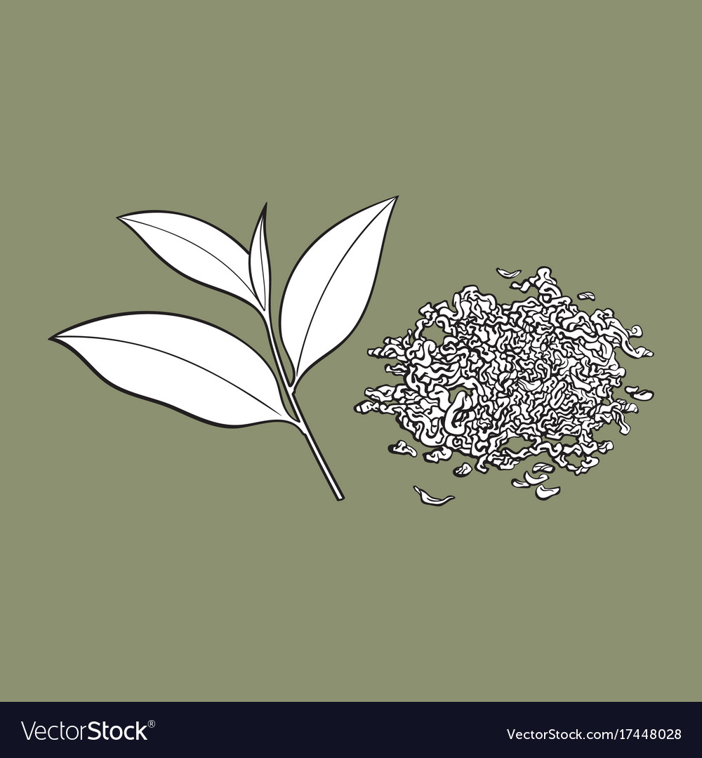 Hand Drawn Pile Of Dry Tea And Fresh Leaf Vector Image