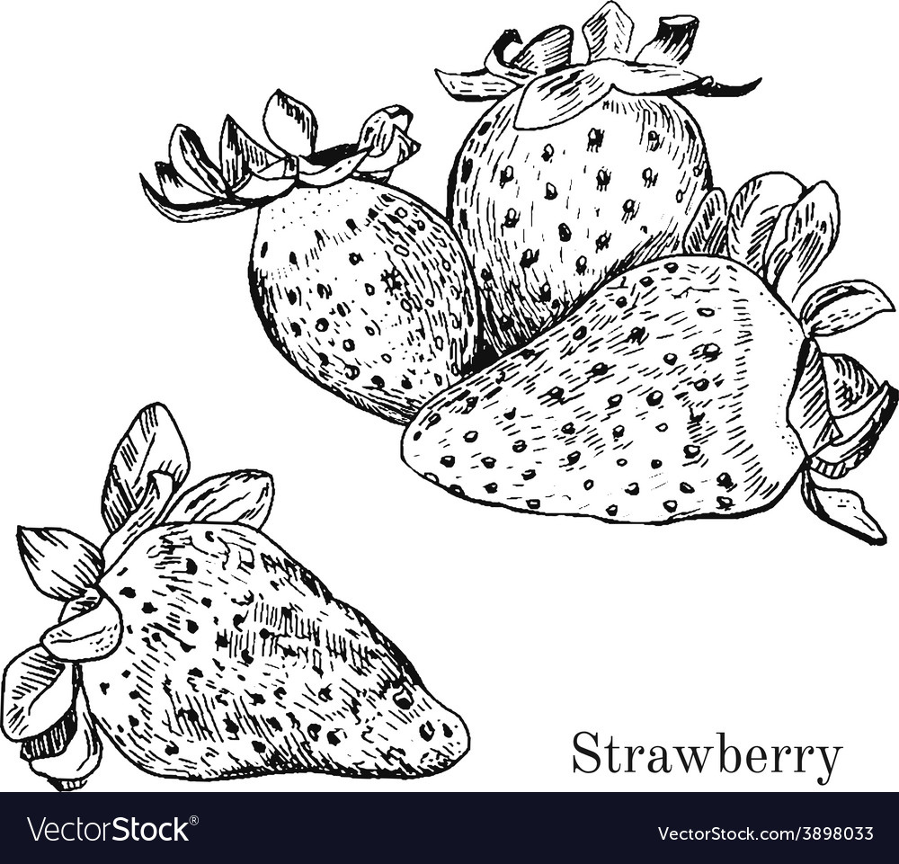 Hand drawn strawberry ink sketch
