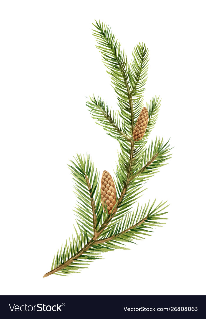 Watercolor green spruce branch with cones