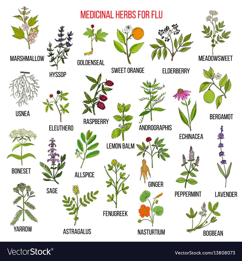 Best medicinal herbs for flu vector image