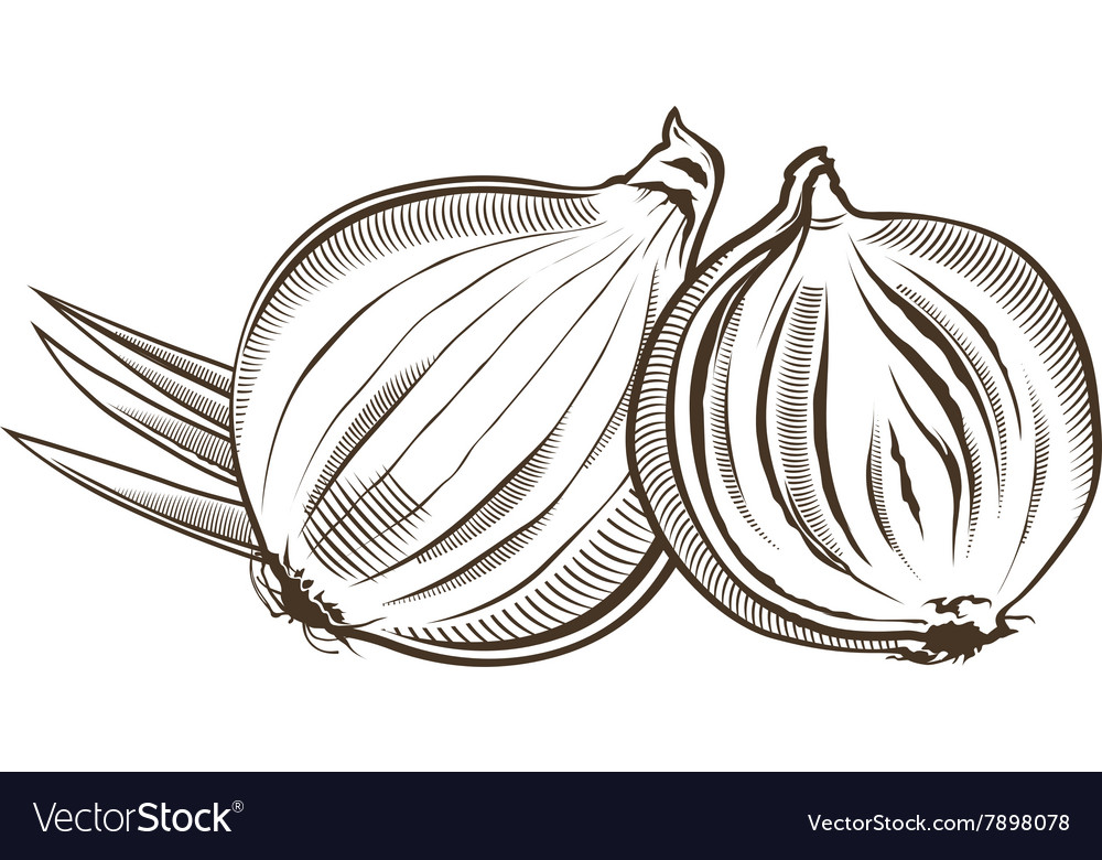 Onion in vintage style Line art