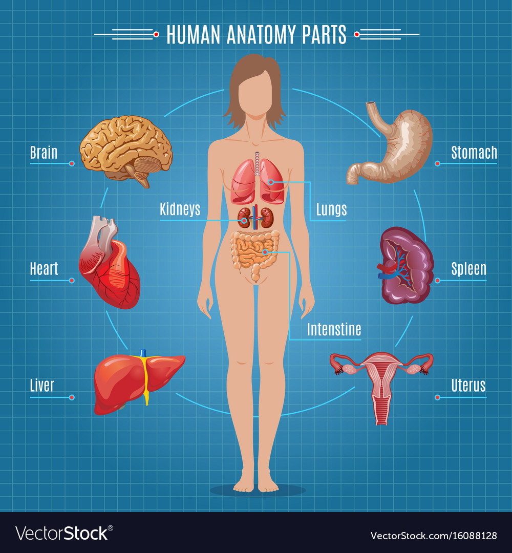 Human Anatomy Diagram - Wiring Diagram Com