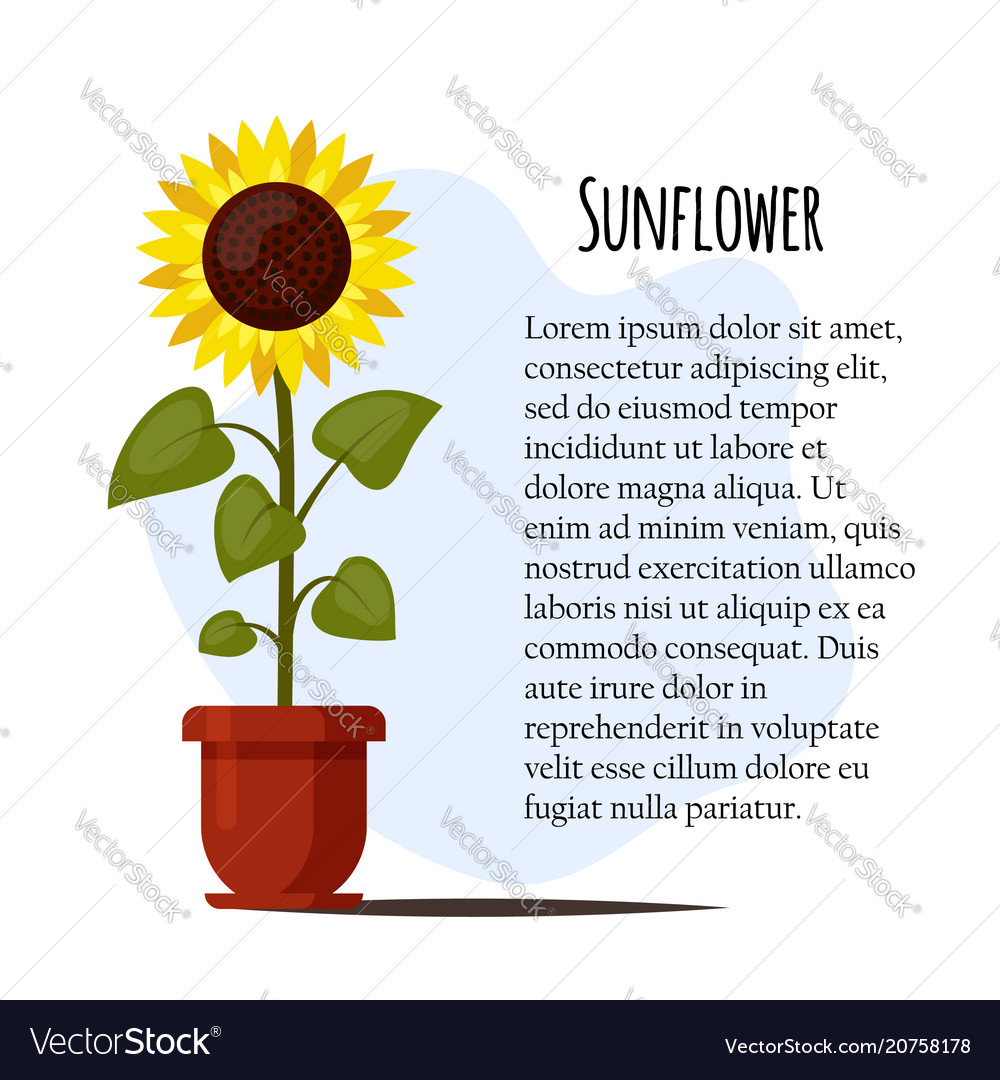 Sunflower cartoon grown in a flowerpot isolated on