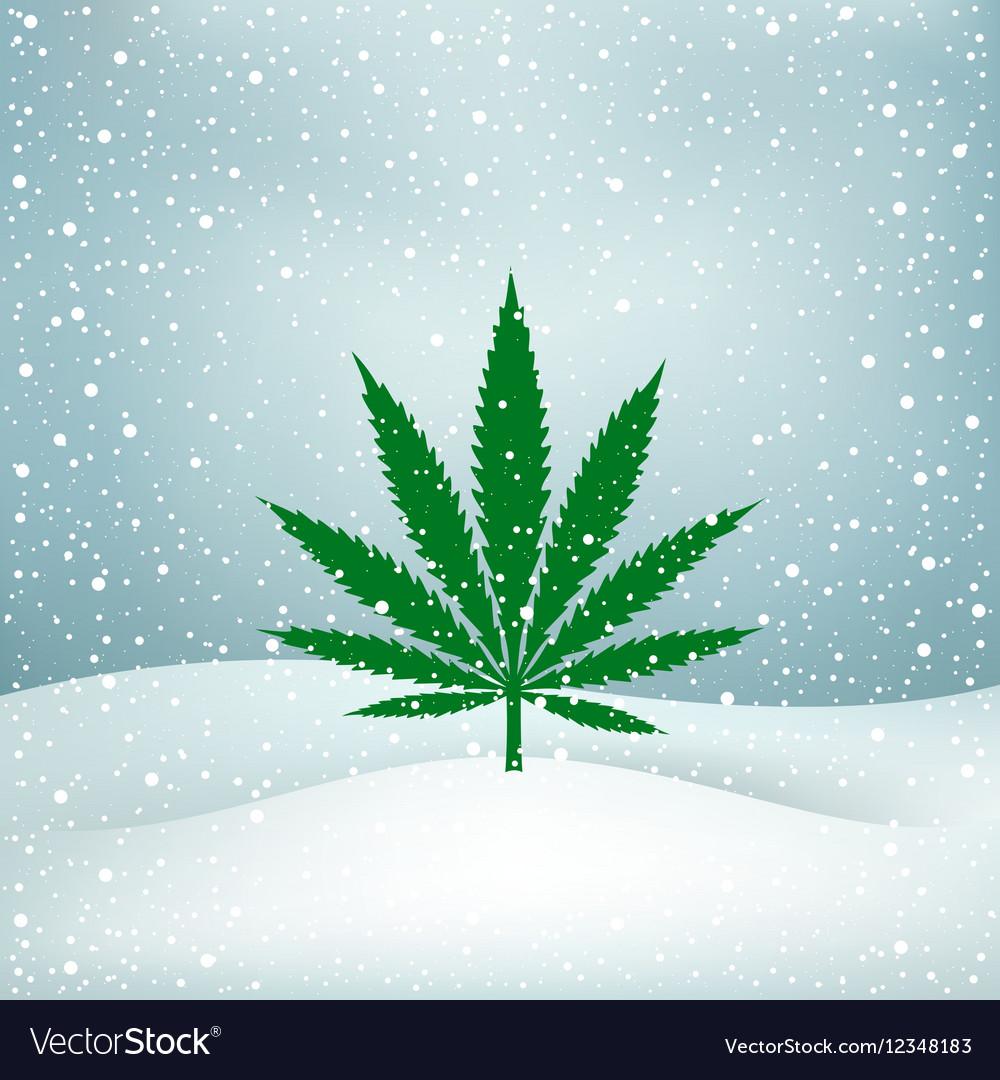 Hemp grows snow