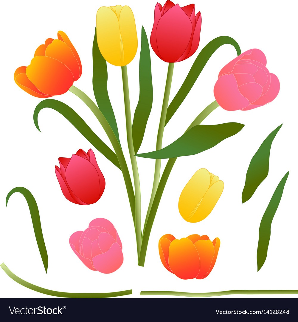 Colorful bouquet tulip isolated on vector image