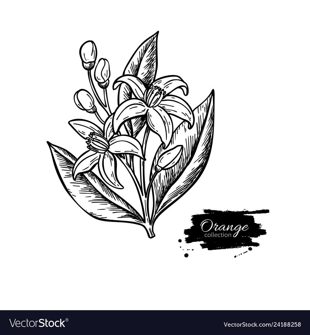 Orange tree flower bloom drawing engraved