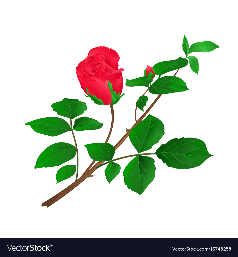 Rosebud red stem with leaves and blossoms vintage vector image