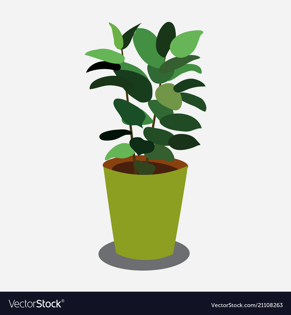 Ficus plant in pistachio pot isolated on white