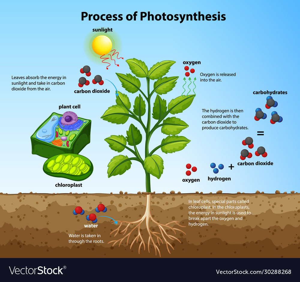 Diagram Showing Process Photosynthesis With Vector Image