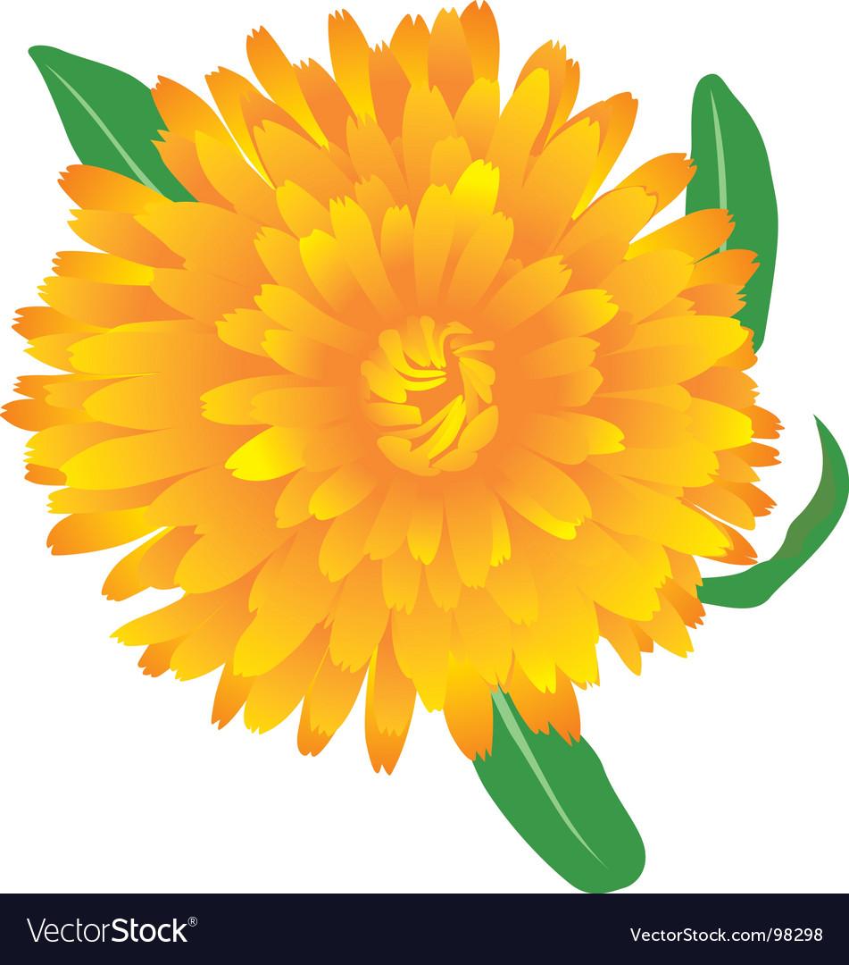 Marigold flower royalty free vector image vectorstock marigold flower vector image mightylinksfo