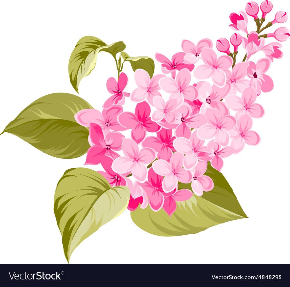 Spring syringa flower vector image