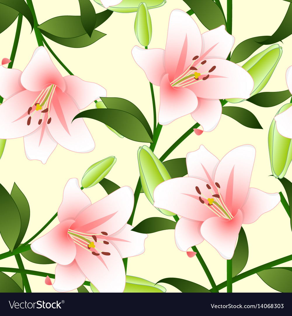 Lilium candidum the madonna lily or pink lily on