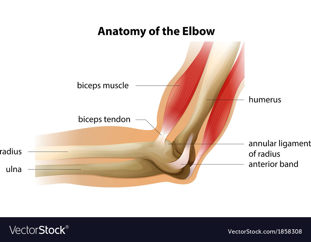 Biceps & Tendon Vector Images (44)