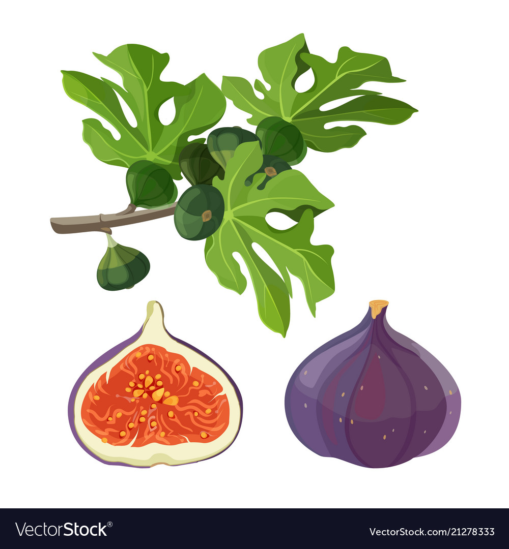 Ficus fruit and branch with leaves