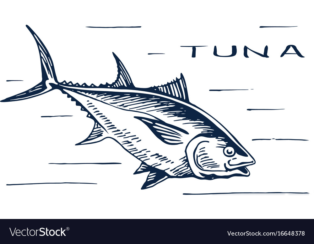 Atlantic bluefin tuna for sushi vector image