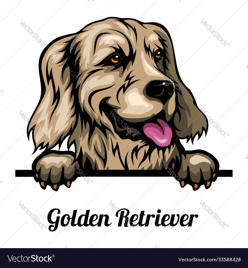 Head golden retriever - dog breed color image